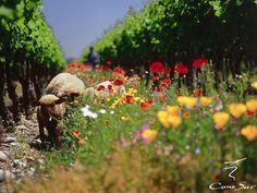 Cono Sur Vineyards, Santiago, Chile