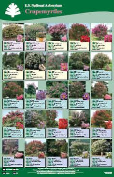 Crape Myrtle, New USA Patented Crepe Myrtles, Crapemyrtles Love Garden, Lawn And Garden, Garden Ideas, Crepe Myrtle Landscaping, Landscaping Ideas, Hanging Herbs, Hanging Basket, Crepe Myrtle Trees, Tropical House Plants