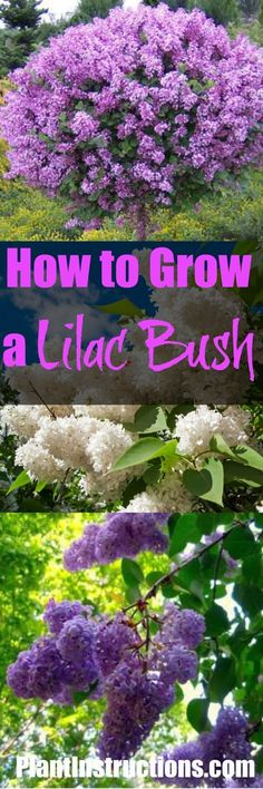 selbstversorger garten How to Grow Lilacs Growing Flowers, Growing Plants, Planting Flowers, Shade Garden, Garden Plants, Outdoor Plants, Outdoor Gardens, Lilac Plant, Lilac Tree