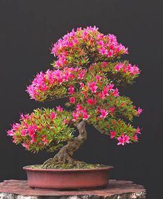 Azalea Bonsai in full bloom. Bonsai - great art or tortured trees? Ikebana, Plantas Bonsai, Bonsai Plants, Bonsai Garden, Bonsai Trees, Bonsai Pruning, Ficus Microcarpa, Miniature Trees, Small Trees