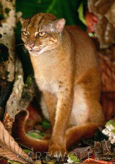 Gato de Borneo (Pardofelis/Catopuma badia