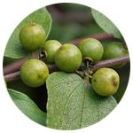 USDA Certified Organic Sedr/ Ziziphus Spina Christi