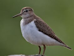Rantasipi. Kuva: Micha Fager Opi, Natural Beauty, Birds, Animals, Animales, Animaux, Bird, Animal, Animais