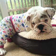 Pyjama Bulldog I need him