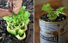 Regrow your own celery! Bury it about one inch below the soil, add water.