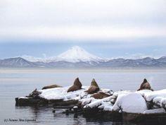 #kamchatka #russia #wildnature #камчатка #sealion