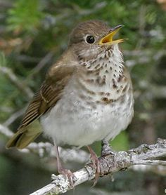 Bicknell's Thrush, Catharus bicknelli, © Larry Master. Breeds in coniferous forests in SE Quebec to Nova Scotia & the sky islands of N New England & New York state
