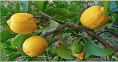 Tome água morna com limão no lugar de comprimidos se você tem um destes 10 problemas! - Lá na Roça