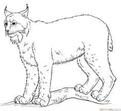 How to draw a lynx step by step. Drawing tutorials for kids and beginners.