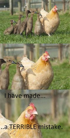 Awkward birds chicken chickens children ducklings kids mistake multipanel that awkward moment wrong - 6079869184 Animal Captions, Funny Animal Memes, Funny Animal Pictures, Funny Animals, Cute Animals, Humorous Pictures, Animal Humor, Raising Ducks, Chicken Humor