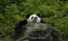 Giant panda, china Despite their exulted status and relative lack of natural predators, pandas are endangered. Severe threats from humans have left fewer than pandas in the wild. Panda Face, Red Panda, Cute Panda, Panda Panda, Endangered Species, Panda Habitat, Panda China, Save The Pandas, Bears