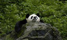 panda | panda #panda #cutepanda