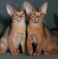 Abyssinian Cat Mn