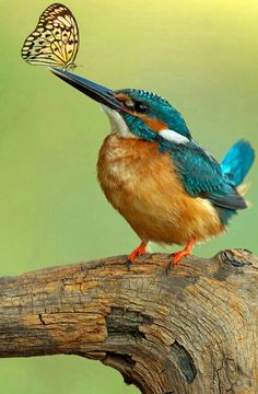 Common Kingfisher by Tatyana Zarubo on Pretty Birds, Love Birds, Beautiful Birds, Animals Beautiful, Common Kingfisher, Kingfisher Bird, Exotic Birds, Colorful Birds, Animals And Pets