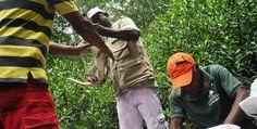 Bahía de Cispatá, la cuna del caimán aguja en el Caribe | El Heraldo