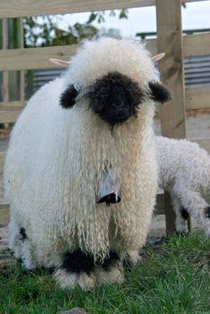 Awesome Fluffy Cows, Fluffy Animals, Beautiful Creatures, Animals Beautiful, Farm Animals, Animals And Pets, Valais Blacknose Sheep, Lamas, Cute Sheep