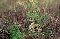 Golden Plover (Pluvialis apricaria) at Cuilcagh Mountain, County Fermanagh of Northern Ireland