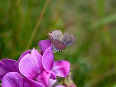 Credit: Matthew Oates/National Trust Lepidopterists anticipate sightings of the long-tailed blue after it was found near National Trust-owned land in Dover. The rare butterfly has laid eggs on Lathyrus latifolius, or everlasting pea, an invasive escapee from gardens considered a pest by conservationists