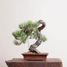 Ponderosa Pine No. 4 | Bonsai Mirai