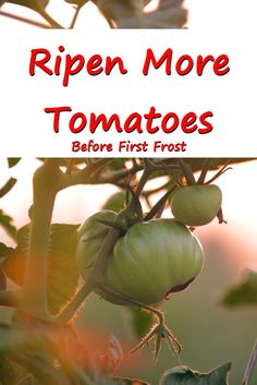 Ripen more green tomatoes before the first frost with these two easy steps…