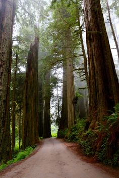 Redwood forest ● Tree canopy covered Road