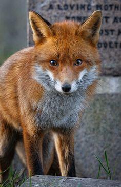 Red Fox by Vladimir Spirov