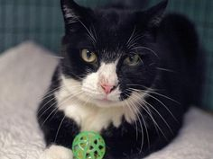 MARIO - ID#A0953226    I am a neutered male, black and white Domestic Shorthair mix.    The shelter staff think I am about 12 years old.    I weigh 12 pounds.    I was found in NY 11201.    I have been at the shelter since Dec 14, 2012. www.PetHarbor.com pet:NWYK1.A0953226