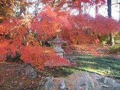 Garvan Woodland Gardens in Hot Springs, Arkansas.  I love Japanese maples, especially in the autumn, and they have some particularly lovely ones there.