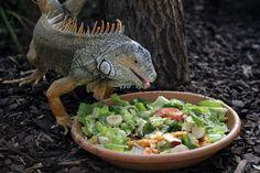 iguana domestica che mangia
