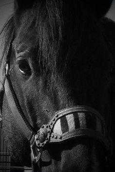 War Drums Black Fire War Drums, Black Fire, Horses, Animals, Animales, Animaux, Animal, Horse, Animais