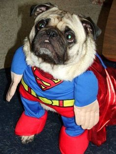 Funny pug pictures don't come much better than this, a pug dressed up as Superman, the original superhero with great powers! Another great funny dog clothing Pugs In Costume, Puppy Costume, Costumes, Pug Photos, Pug Pictures, Cute Pugs, Cute Puppies, Pugs Dressed Up, Funny Superman