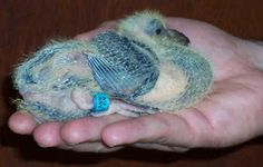 Hold the baby pigeon in one hand and the racing pigeon band in the other. Baby Pigeon, I Like Birds, Racing Pigeons, Infant, Wings, Fish, Animals, Butterflies, Turtle Dove
