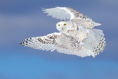 "Flight of the Snowy - Snowy Owl - To purchase prints, cards, pillows, shirts and more you can visit <a href=""http://www.redbubble.com/people/darby8"">www.redbubble.com/people/darby8</a> © Jim Cumming"