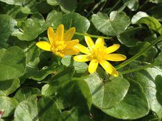 Leckeres Frühlingskraut und ne echte Vitamin C-Bombe: das Scharbockskraut. Wächst im März im Überfluss :-)