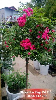 Với thân cây gỗ cao đầy chắc chắn, cứng cõi luôn vững mình trong nắng sớm, cùng với những bông hoa rực rỡ khoe mình trong gió và luôn làm cuốn hút mọi ánh nhìn từ trẻ nhỏ đến những cụ già. Phải chăng, Hạt Giống Hồng Thân Gỗ Tree Rose khi trưởng thành sẽ mang khát vọng của tình yêu và hạnh phúc đến cho mọi người, giúp ai ai cũng cảm thấy bình yên và hạnh phúc hơn bao giờ hết.    Giá: 170.000 đ / gói  Liên hệ: 0926.943.783  #hoadepdetrong