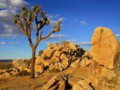 High resolution nature desktop wallpaper of Joshua Tree Mojave Desert Littlerock California (ID: Pacific Crest Trail, Joshua Tree Wallpaper, Scenery Wallpaper, Landscape Wallpaper, Plant Wallpaper, Wallpaper Pc, California Wallpaper, Desert Trees, Desert Pictures