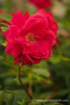 Rosa 'Lovestruck' has won the Rose of the Year Competition 2018 at the RHS Hampton Court Palace Flower Show 2017 - Pumpkin Beth Hampton Court Flower Show, Rhs Hampton Court, Shows 2017, David Austin, Real Flowers, Beautiful Roses, Palace, Competition, Pumpkin