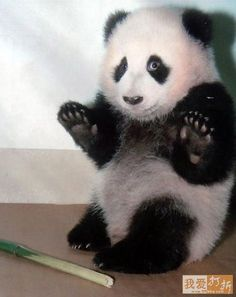 http://www.funzug.com/index.php/wildlife/enjoy-the-panda-therapy.html