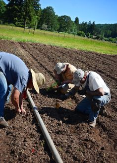 Our farm crew is close to finishing up our spring trial planting. Today (6-6-14) they are direct sowing carrot seeds and planting herb starts.