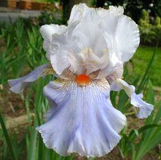 TB Iris germanica 'Patriotic Colors' (Niswonger, 1996)