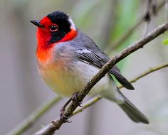 Red-faced Warbler (Cardellina rubrifrons) by Greg Lavaty American Bird Conservancy.