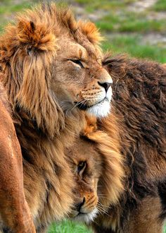 ~~Lions having a cuddle by Dave~~