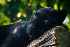 Les plus belles photographies de panthères noires, le plus timide et solitaire des félins | Buzzly