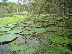 Vitórias régias gigantes na Amazônia, Brasil.  Fotografia: glaubercr no http://www.mochileiros.com