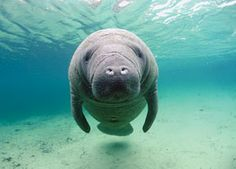 Manatees are absolutely amazing, so very gentle!