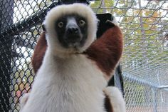 """If you want to see lemurs, there are two places in the world you may want to visit."" 1) Madagascar 2) Durham, NC- thanks to the Duke Lemur Center!"