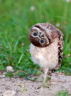 I want this owl as my buddy! Owl Photos, Owl Pictures, Random Pictures, Beautiful Owl, Animals Beautiful, Cute Funny Animals, Cute Baby Animals, Rare Birds, Baby Owls