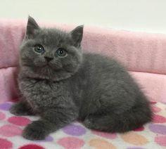 里親さんブログスコティッシュフォールドの子猫ちゃん - http://iyaiya.jp/cat/archives/74743