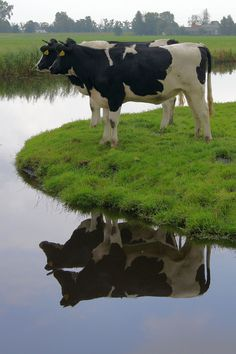 Cow Reflections in Holland