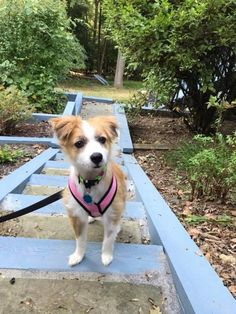 Meet Scrappy An Adoptable Papillon Looking For A Forever Home If